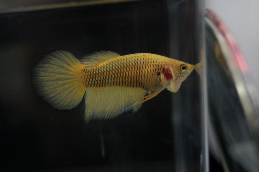 14me Swiss Betta Show: photos, résultats, etc... BOS_femelle