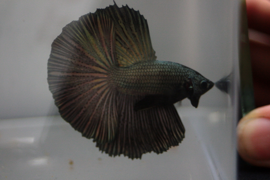 14me Swiss Betta Show: photos, résultats, etc... BOS_male