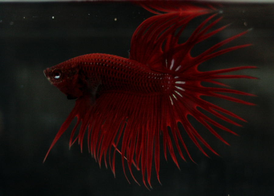 14me Swiss Betta Show: photos, résultats, etc... CT_male_rouge_RBOS