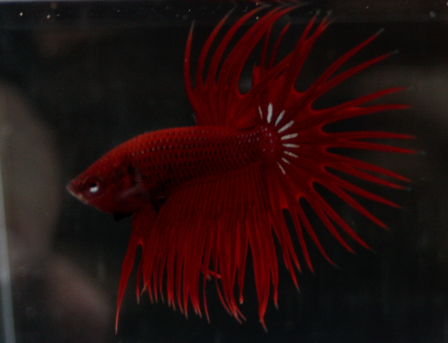 14me Swiss Betta Show: photos, résultats, etc... CT_male_rouge_RBOS2