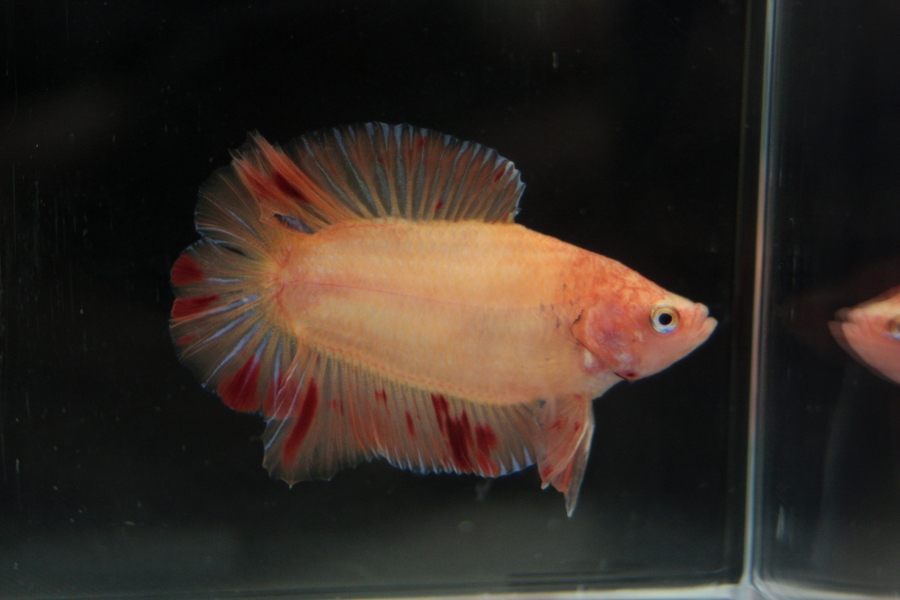 14me Swiss Betta Show: photos, résultats, etc... DT_plakat_male