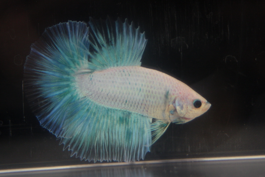 14me Swiss Betta Show: photos, résultats, etc... HM_grizzle