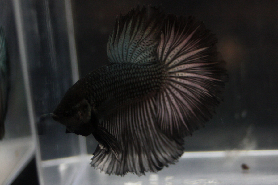 14me Swiss Betta Show: photos, résultats, etc... HM_metallique