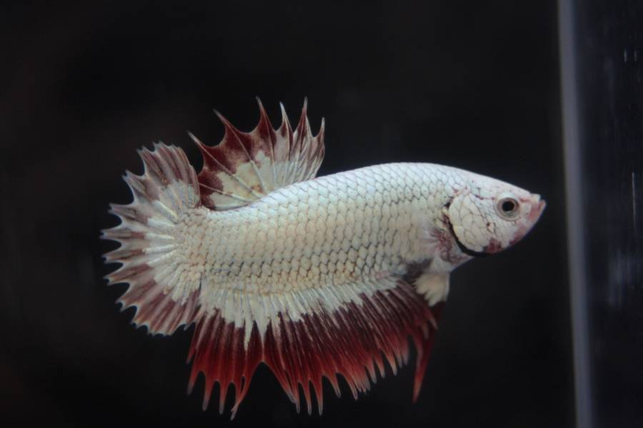 14me Swiss Betta Show: photos, résultats, etc... PKCT_male_dragon2