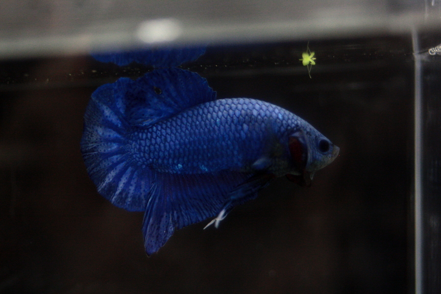 14me Swiss Betta Show: photos, résultats, etc... PK_male_bleu