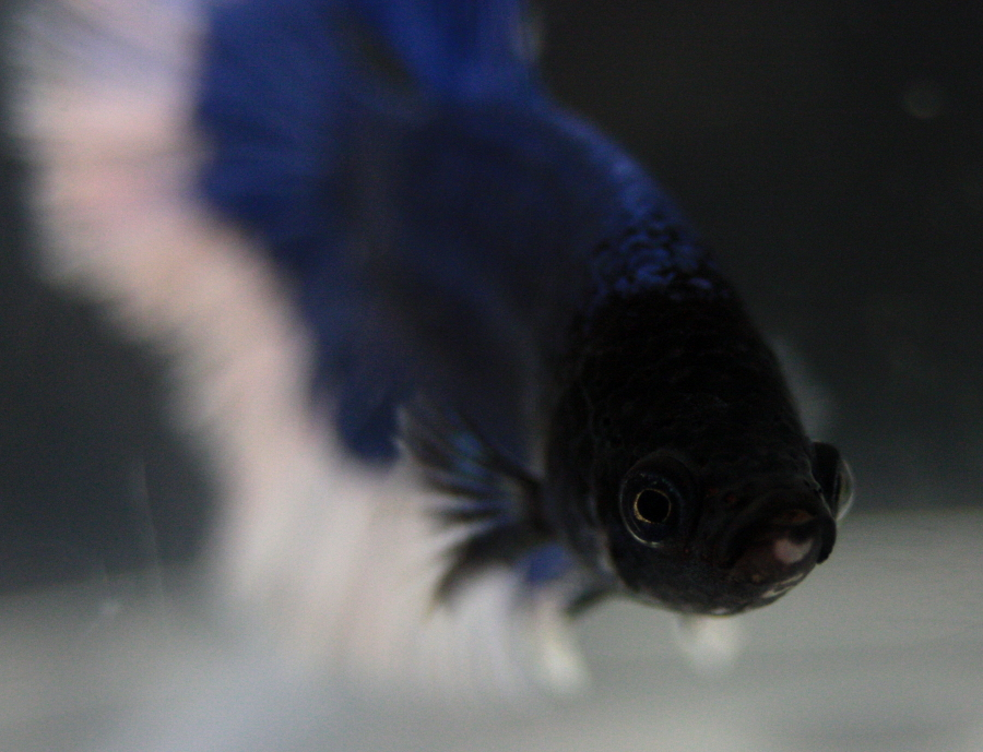 14me Swiss Betta Show: photos, résultats, etc... Au_revoir