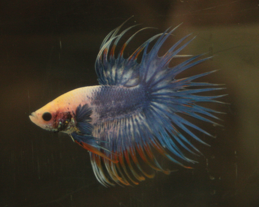 14me Swiss Betta Show: photos, résultats, etc... Male_CT_multi