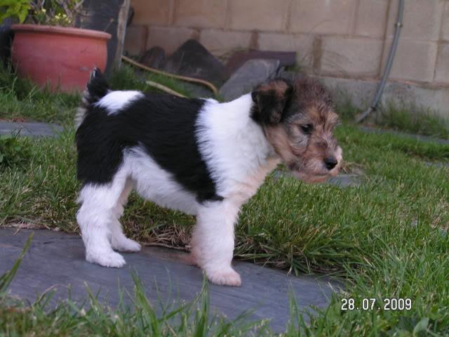 Fox terrier PICT0386