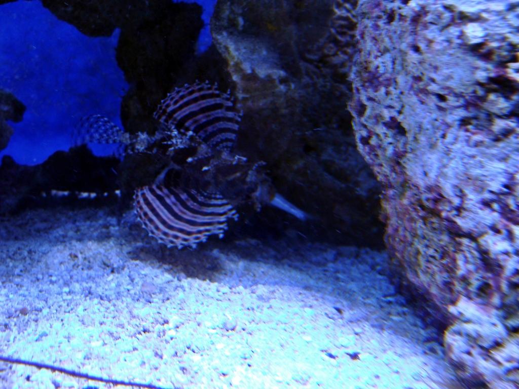 Nick's 90 gallon aggressive reef tank - Page 3 DSC09277