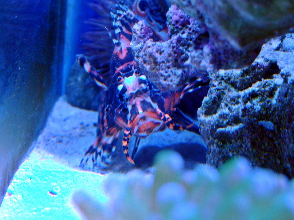 Nick's 90 gallon aggressive reef tank - Page 3 DSC09286