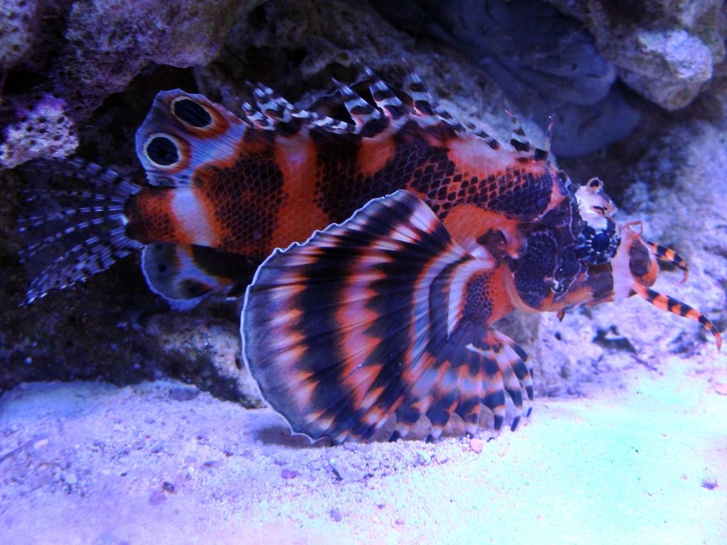 Nick's 90 gallon aggressive reef tank - Page 3 DSC09289