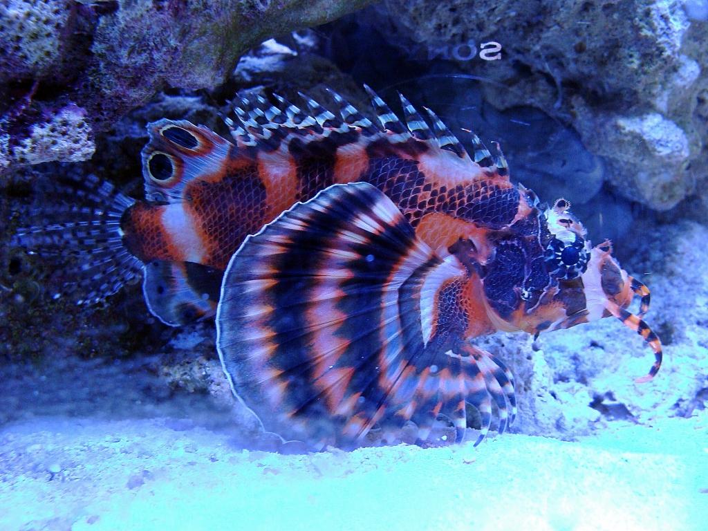 Nick's 90 gallon aggressive reef tank - Page 3 DSC09290