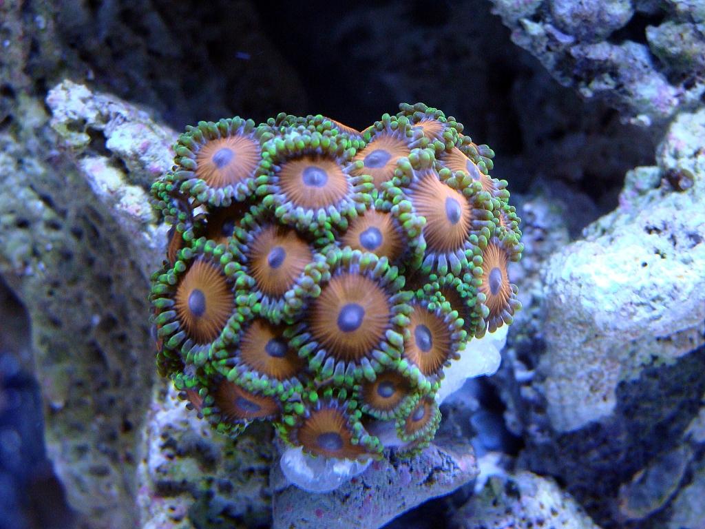 Nick's 90 gallon aggressive reef tank - Page 4 DSC09294