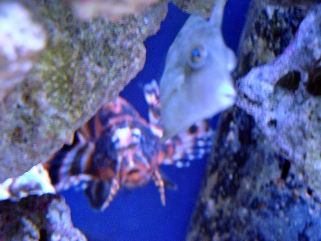 Nick's 90 gallon aggressive reef tank - Page 4 DSC09298