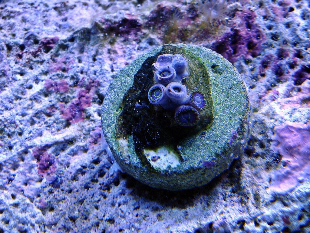 Nick's 90 gallon aggressive reef tank - Page 4 DSC09300