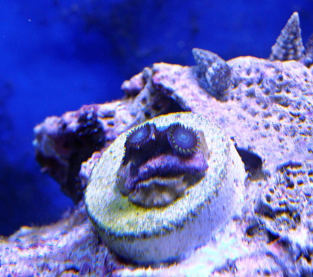 Nick's 90 gallon aggressive reef tank - Page 4 DSC09301