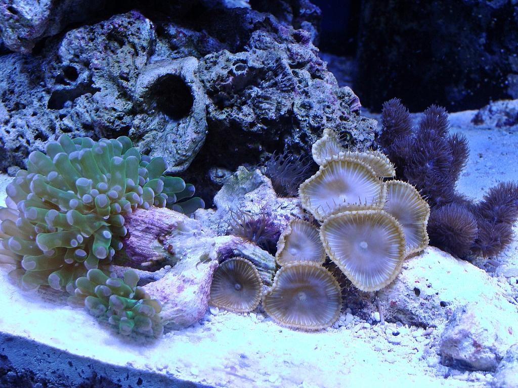 Nick's 90 gallon aggressive reef tank - Page 4 DSC09304