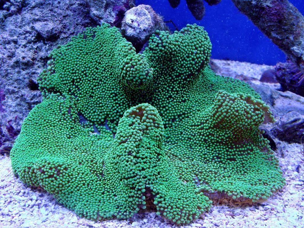 Nick's 90 gallon aggressive reef tank - Page 5 DSC09344_zpsbd73b93c