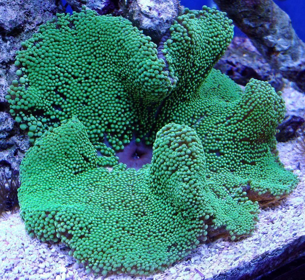 Nick's 90 gallon aggressive reef tank - Page 5 DSC09356_zps4d727e7c