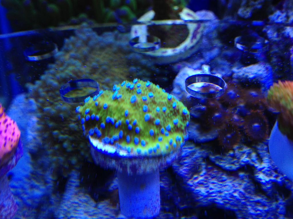 Nick's 90 gallon aggressive reef tank - Page 5 IMG_0387_zpsb169effb