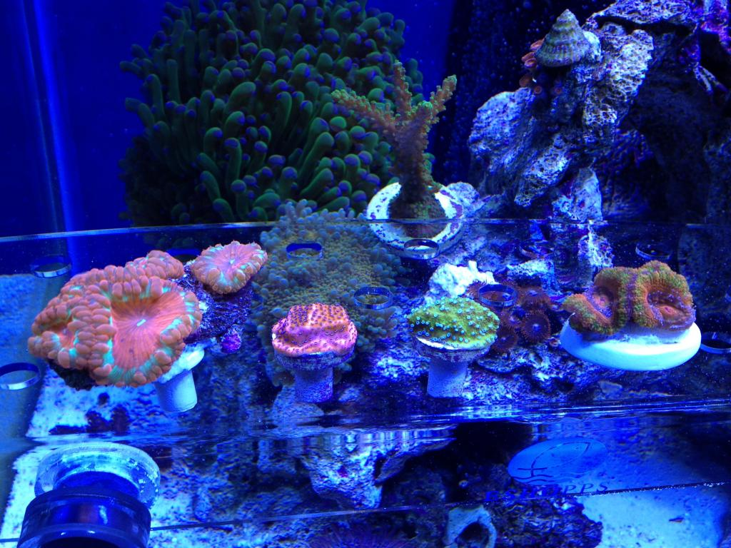 Nick's 90 gallon aggressive reef tank - Page 5 IMG_0392_zps88bbbf70