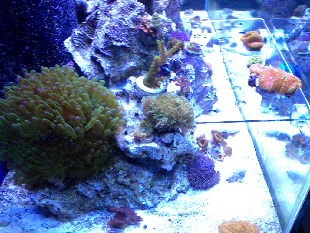 Nick's 90 gallon aggressive reef tank - Page 5 IMG_0393_zps38eefca8