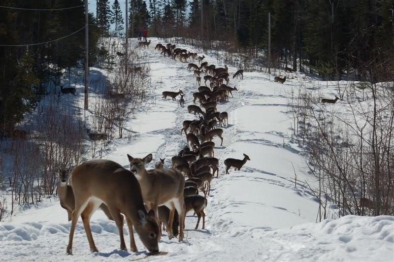 Viados ( white tail deer) Snowmobile2_1401
