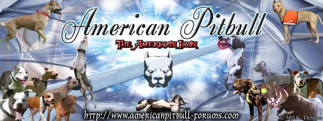 American Pit Bull