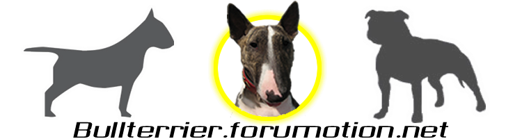 Bull Terrier Chat Forum & info