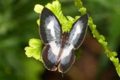 Tìm hiểu Bướm - Page 22 Butterfly7a_400CastaliusrosimonComm
