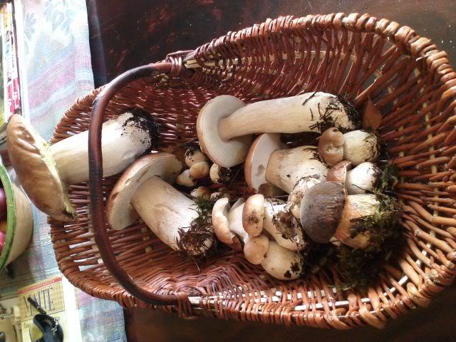 Premiers champignons ! Cepes0811