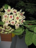 Hoya buotii Th_2-1