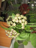Hoya buotii Th_IMG_3455