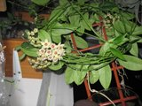 Hoya buotii Th_IMG_3498