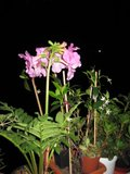 gloxinia sălbatică (Incarvillea) Th_IMG_0036