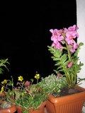 gloxinia sălbatică (Incarvillea) Th_IMG_0037