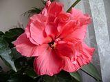 Hibiscus rosa sinensis - Pagina 4 Th_Picture067