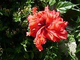 Hibiscus rosa sinensis - Pagina 4 Th_Picture098