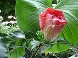 Hibiscus rosa sinensis - Pagina 4 Th_Picture246