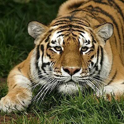 pune poza...cere poza - Pagina 2 Tiger-prowl