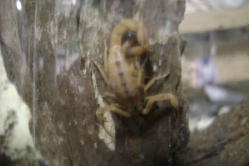 Couple T. stigmurus pics 008-5