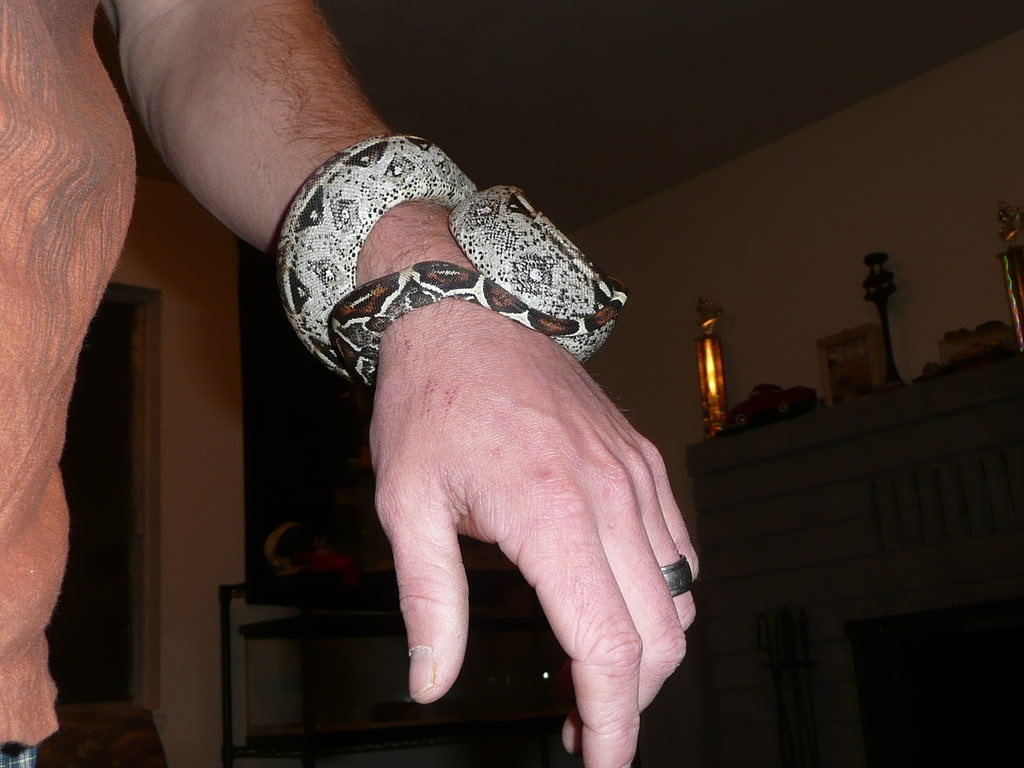 Any Red Tail Boa Keepers here? RedTailBoa2