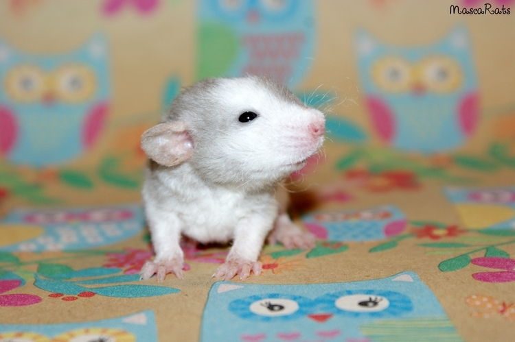 La Portée - De la saillie au sevrage des ratons  DSC09151_zpsf258a991