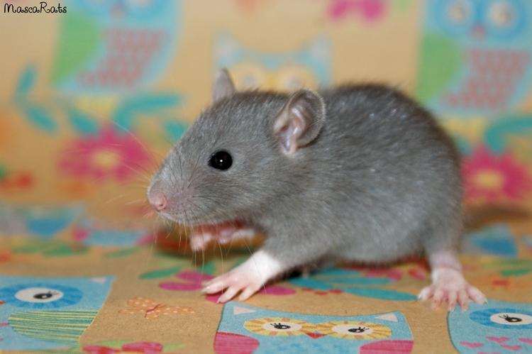 La Portée - De la saillie au sevrage des ratons  DSC09166_zps1c1c9f1a