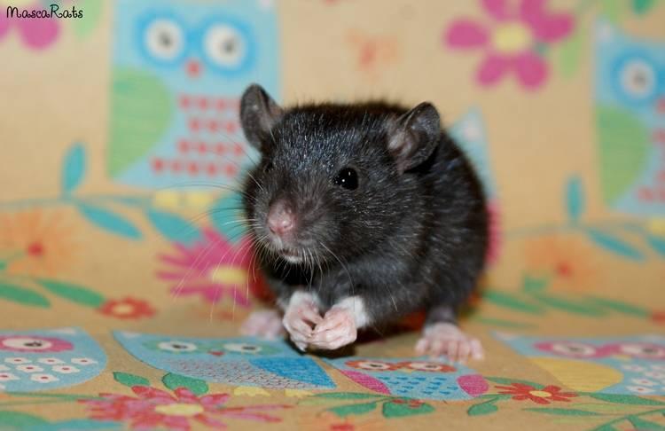 La Portée - De la saillie au sevrage des ratons  DSC09174_zpsd75a4712