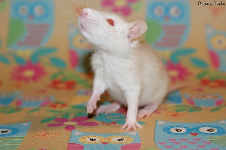 La Portée - De la saillie au sevrage des ratons  DSC09185_zps46b4932d