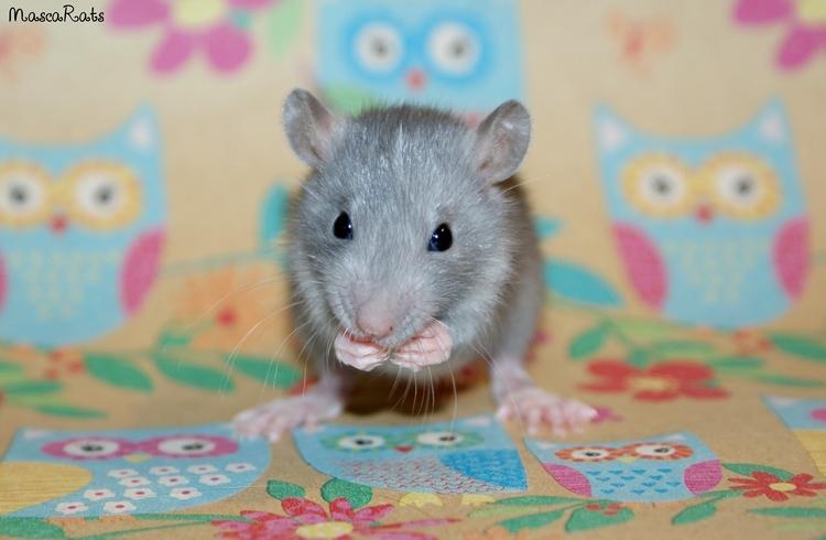 La Portée - De la saillie au sevrage des ratons  DSC09210_zps14fef231