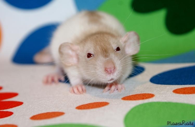 La Portée - De la saillie au sevrage des ratons  - Page 2 DSC09348_zpsa6ea991a