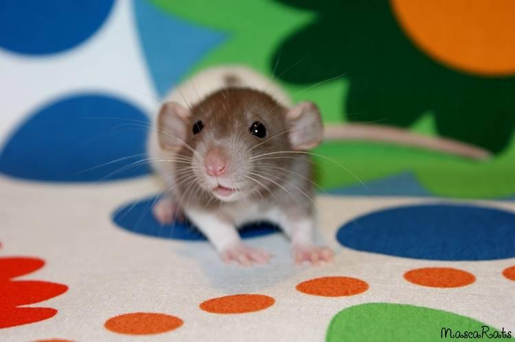 La Portée - De la saillie au sevrage des ratons  - Page 2 DSC09399_zpsfa027e9e