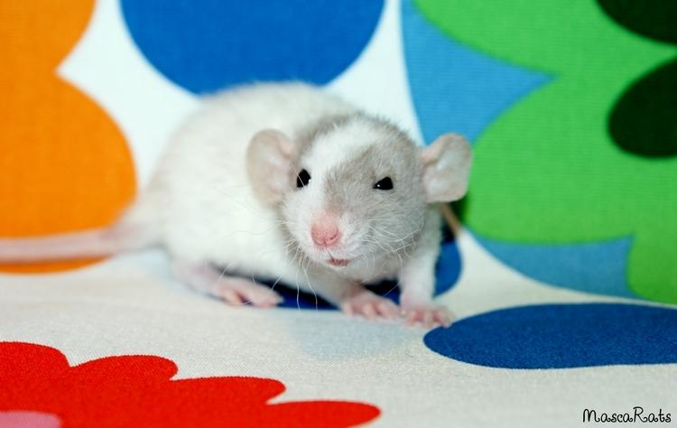 La Portée - De la saillie au sevrage des ratons  - Page 2 DSC09422_zpsdde9f102